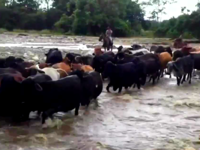 FARC suspected of smuggling cattle into Colombia from Venezuela