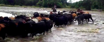 FARC Find Big Business in Smuggling Cattle from Venezuela