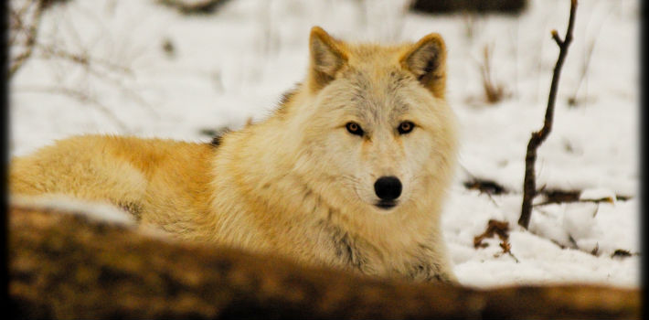 Taxpayers Fund Mass Killing of Wolves in British Columbia